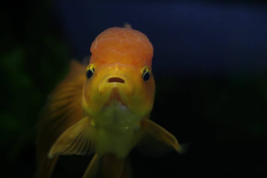 Goldfish deposit their eggs on plants.