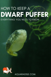 How to keep a dwarf puffer fish