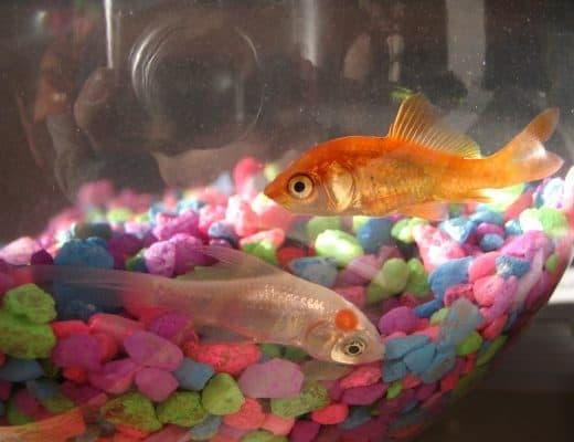 goldfish bowl bad