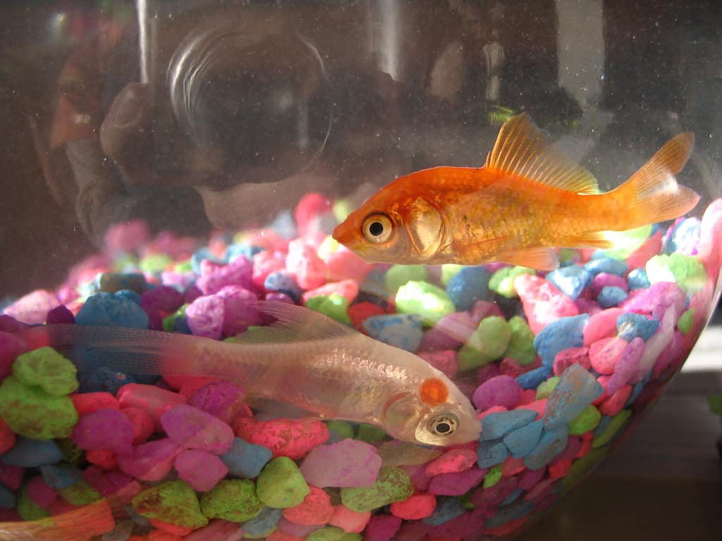 Expensive Goldfish | Why Goldfish Bowls Should Be Banned Aquariadise