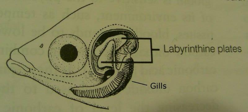 labyrinth organ