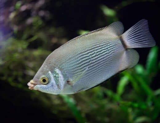 Helostoma temminckii in aquarium
