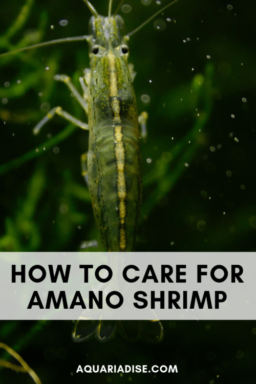 Amano shrimp care & info: the ultimate aquarium algae eater! #aquariums #aquatic