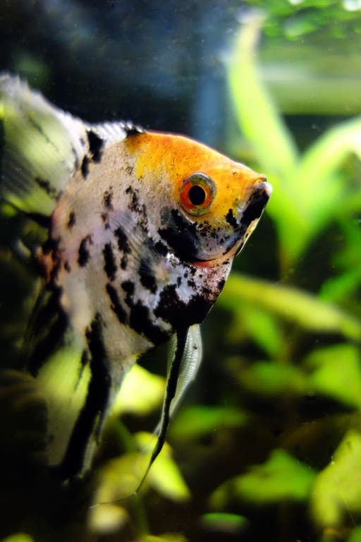 The 8 worst aquarium #fish for beginners ?
