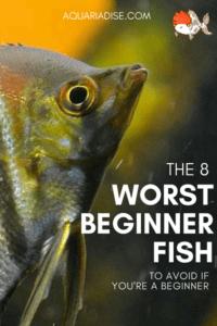 What are the worst aquarium fish for beginners?