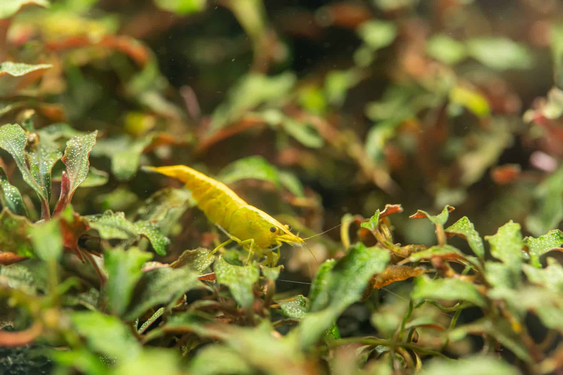 Bucephalandra spp.
