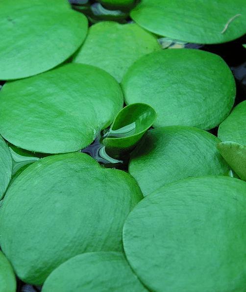 amazon frogbit