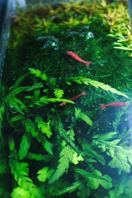 Cherry shrimp caresheet #aquariums #shrimp