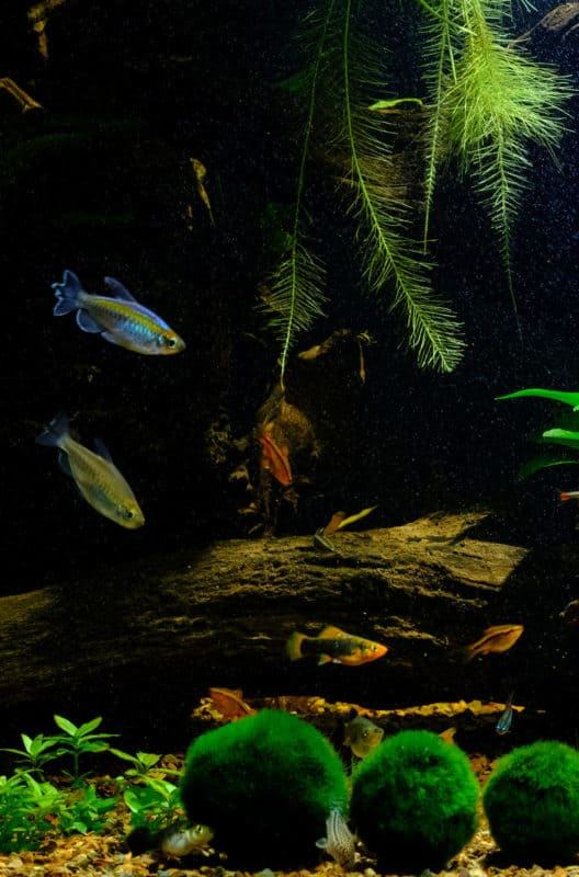 How to care for a Marimo ball #aquatic #aquascapes