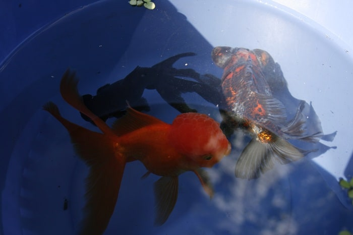 The three of them in a bucket to get used to the pond water.