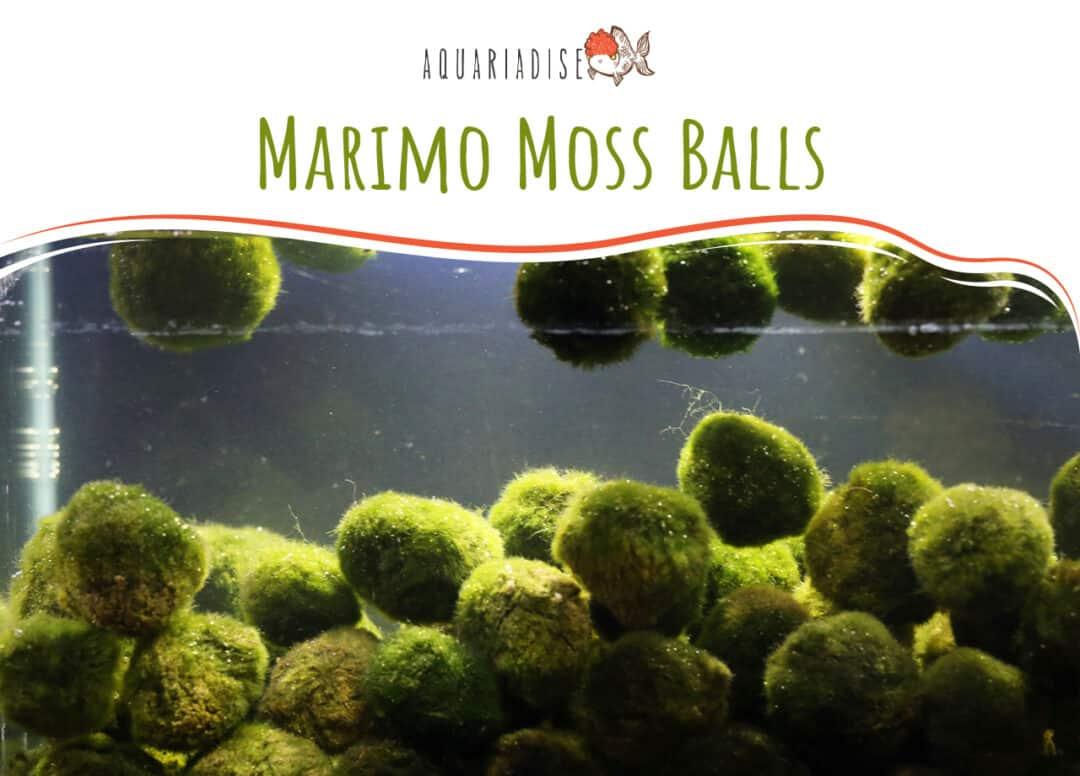Marimo Moss Balls