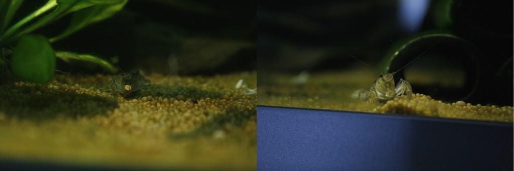 The crayfish nibbling on a Hikari Crab Cuisine pellet!