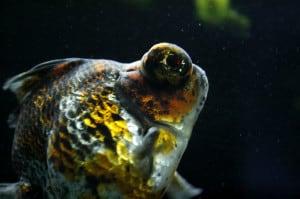 demekin goudvis