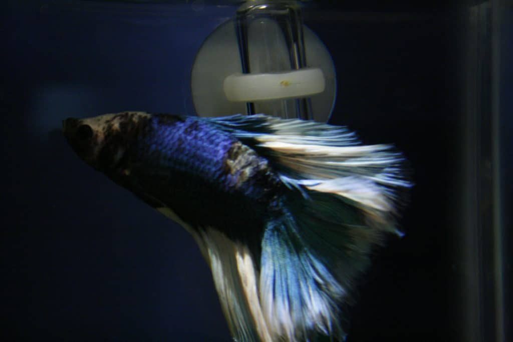 betta injury