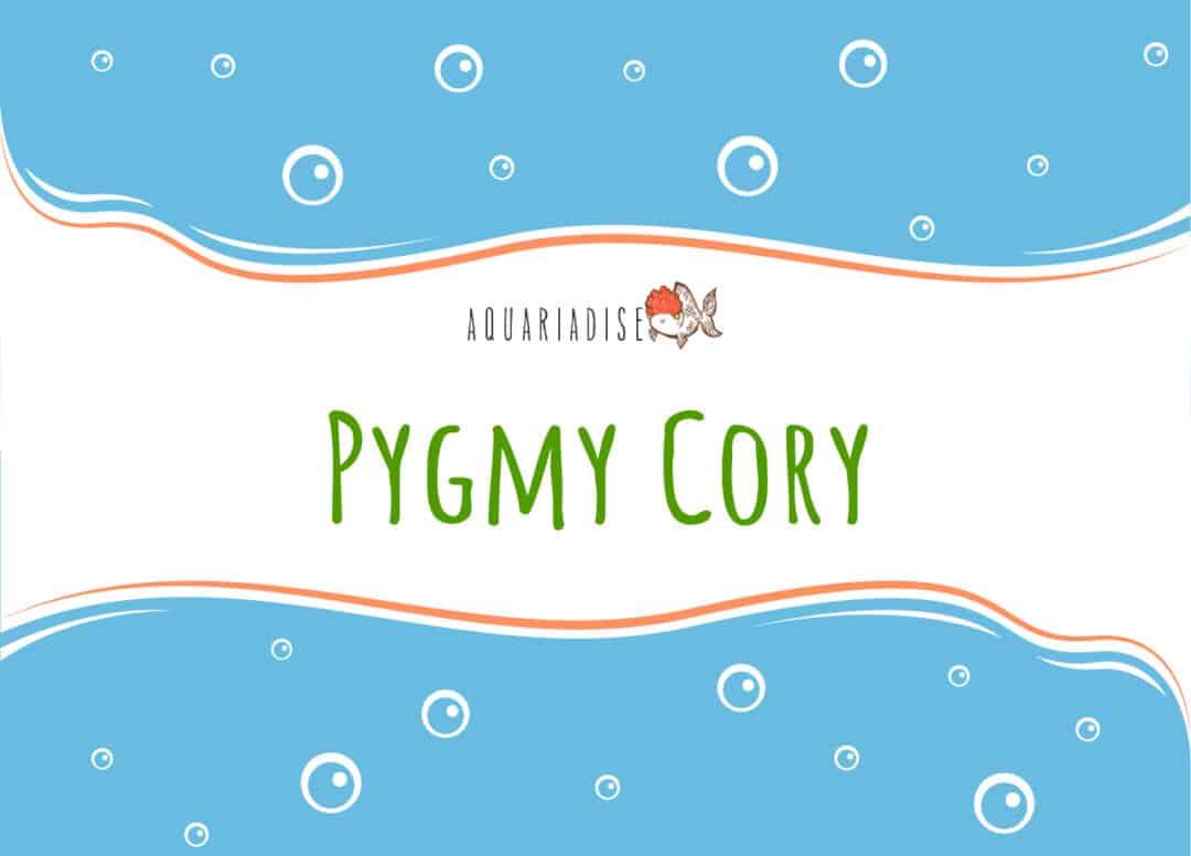 Pygmy Cory