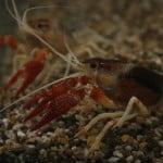 crayfish aquarium
