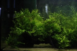 lace java fern