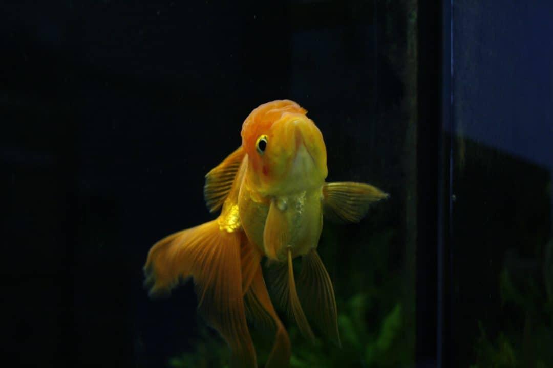 sluierstaart goudvis
