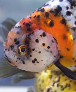 How to keep fancy goldfish successfully - ditch the bowl and more tips! #aquariums #fish