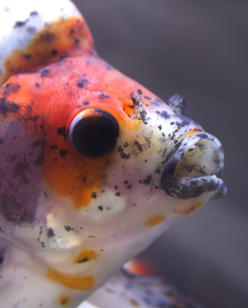 Busting the myths: how should fancy goldfish REALLY be housed? #aquariums #goldfish