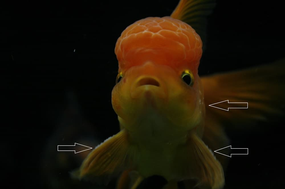 This oranda has breeding stars on both his pectoral fins and operculum.