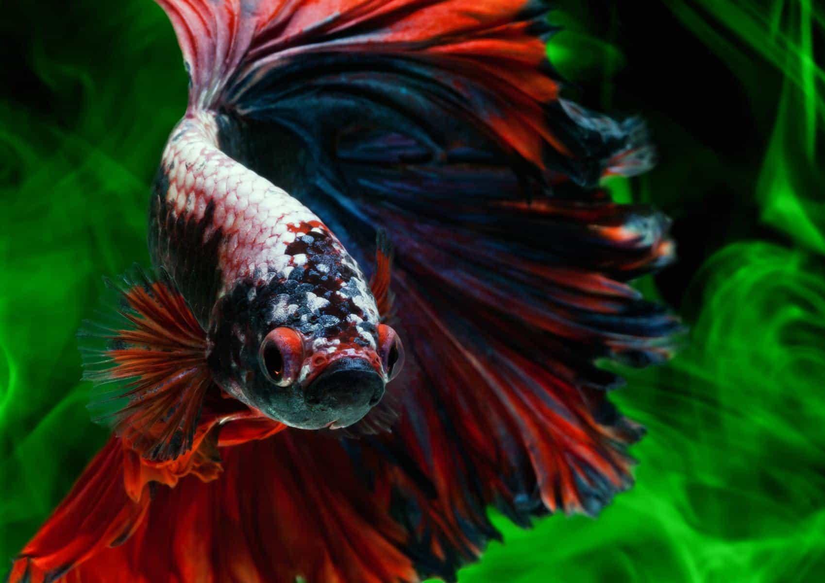 Rosetail Betta