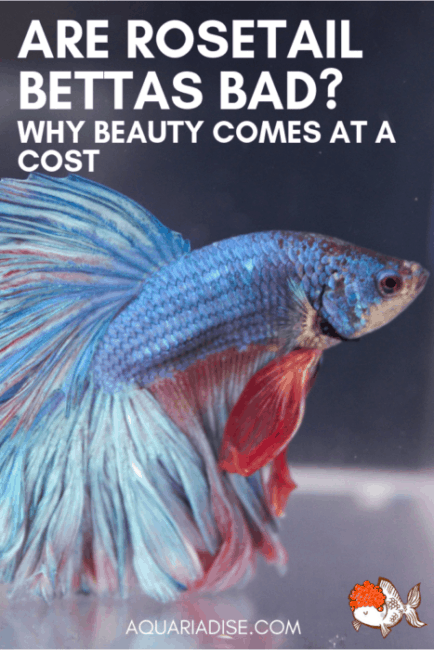 Rosetail #bettafish are among the most beautiful out there. Unfortunately, though, you might be better off avoiding them... #aquariums #fishtank