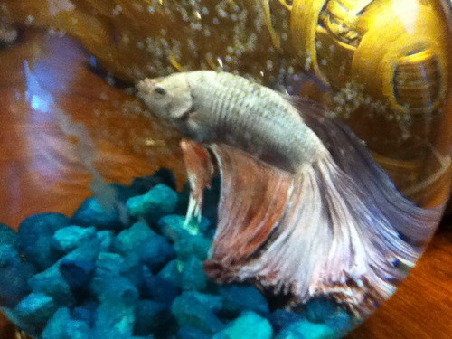 P S Bowie Has Torn Fins Because He Was A Rescue From Friend Who Did Not Want Him Anymore Just In Case Anyone Wondering
