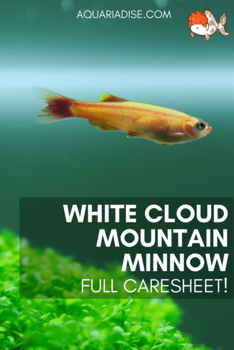 White cloud mountain minnow: care & info!