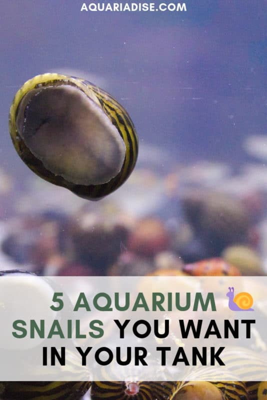 Not all aquarium snails are pests! Some are useful additions to your tank and quite fascinating to keep. #aquariums #pets