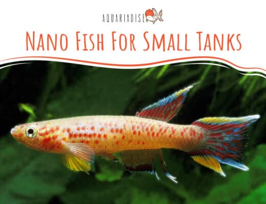 Nano Fish For Small Tanks