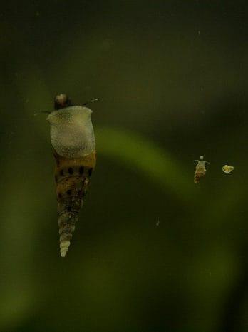 removing aquarium snails