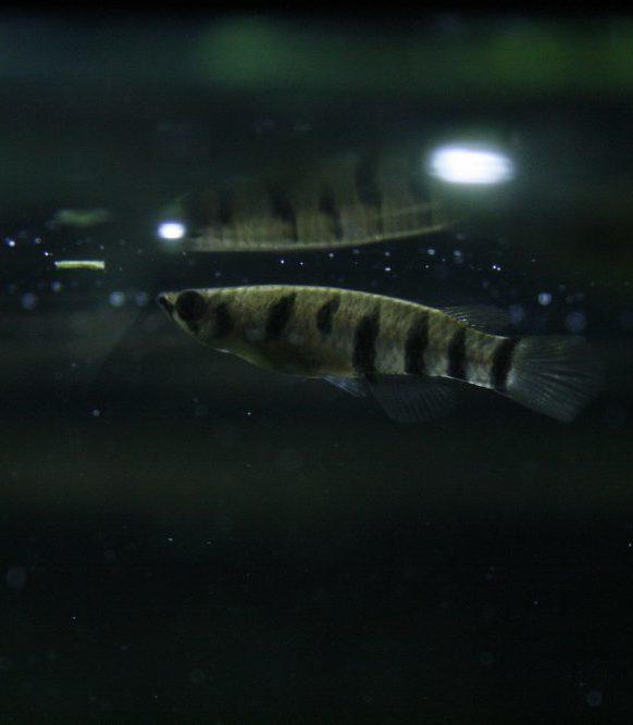 Caresheet: Red-chinned panchax #aquarium #killifish