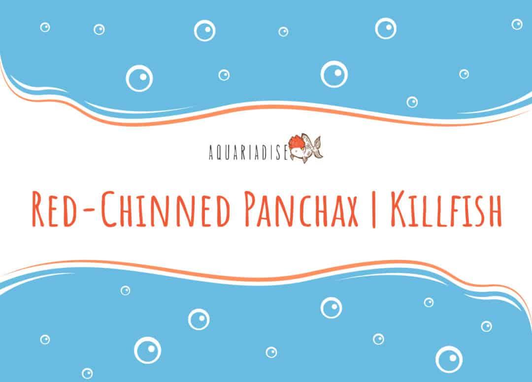 Red-Chinned Panchax Killfish
