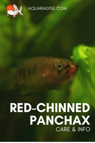 Caresheet: Red-chinned panchax