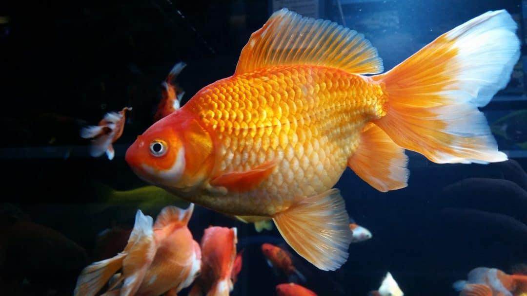 feeding goldfish