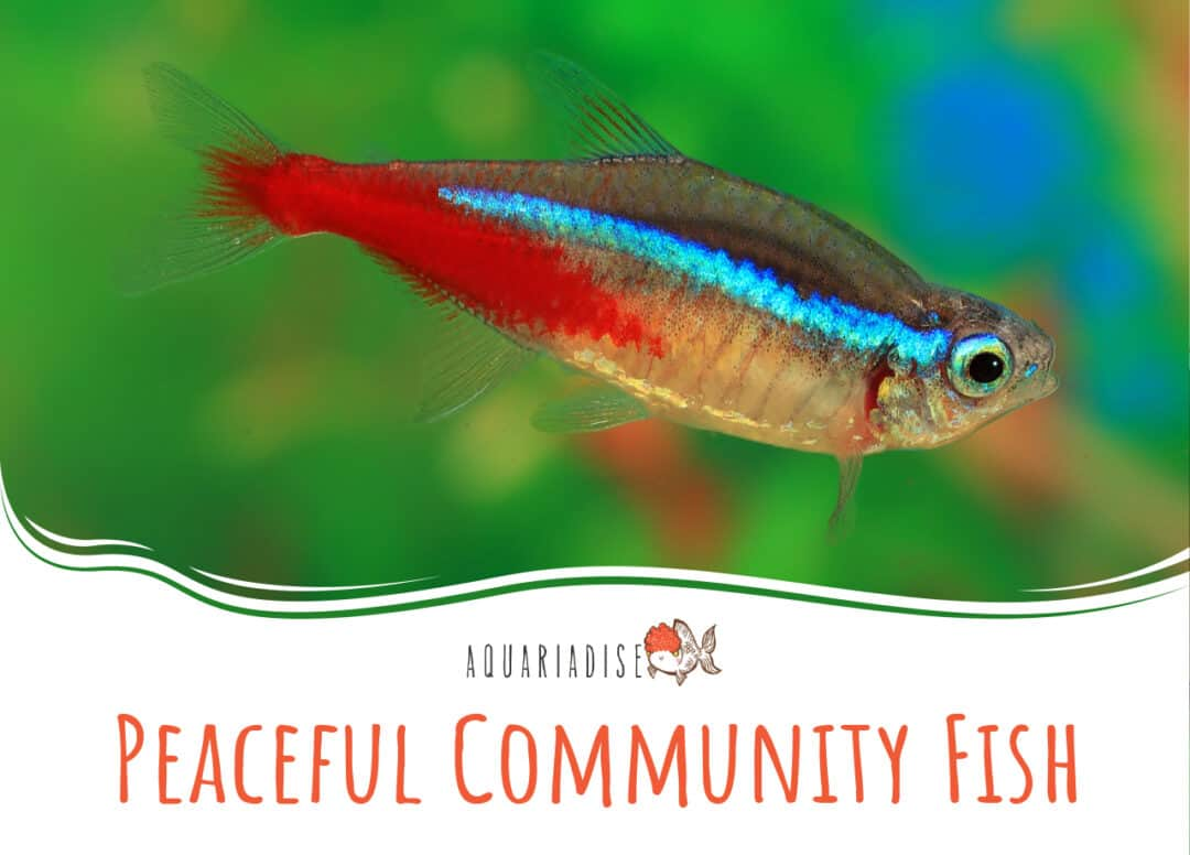 Peaceful Community Fish