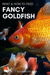Feeding fancy goldfish