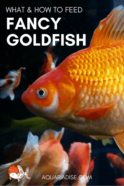 Feeding fancy goldfish