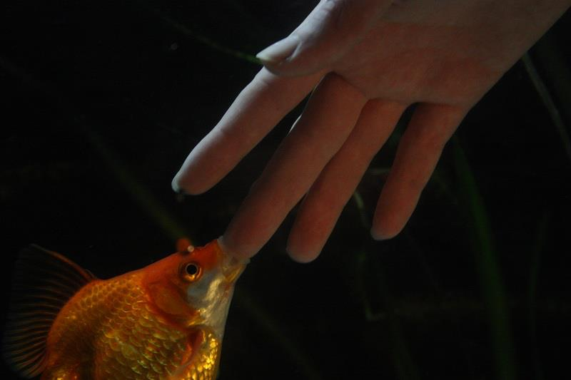 hand feeding goldfish