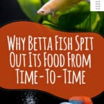 Betta Fish Feeding Guide