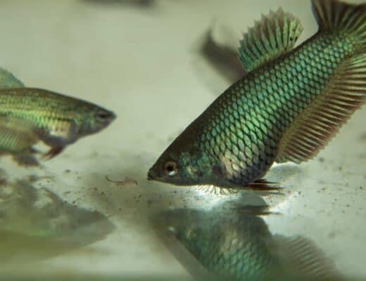 Betta Fish Feeding