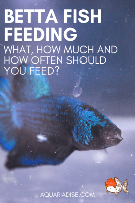 Feeding your #Betta #fish | What does it need to stay healthy? #aquarium
