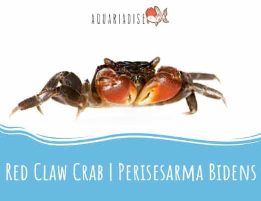 Red Claw Crab Perisesarma Bidens