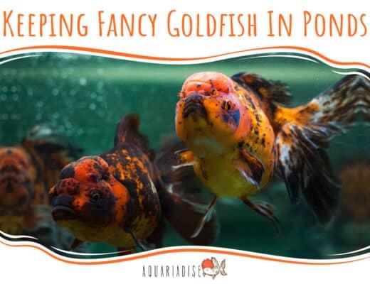 Keeping Fancy Goldfish In Ponds