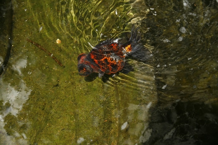 Keeping fancy goldfish in ponds aquariadise for Koi pond keeping