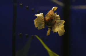 Dumbo betta in an aquarium store.