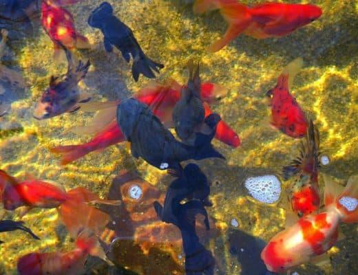 fancy goldfish pond