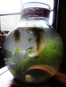 Planted fish bowl