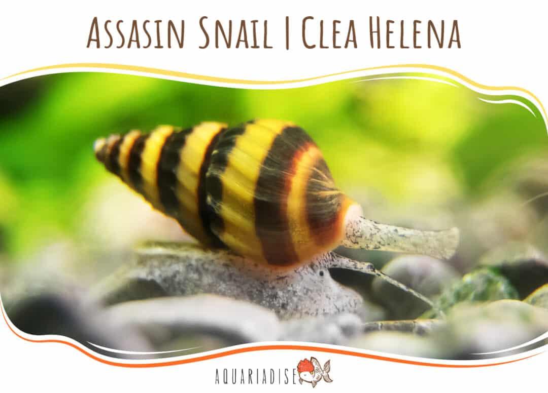 Assasin Snail Clea Helena